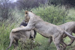 Lions playing with father Male lion - king of the jungle Royalty Free Stock Image