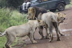 Lions playing with father Male lion - king of the jungle Royalty Free Stock Photography