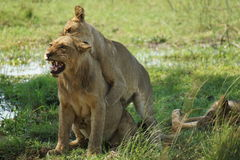 Lions playing. Lioness attacking young Lion for fun Stock Photos