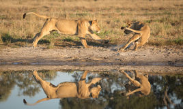 Lions playing near water, Savuti, Botswana Royalty Free Stock Images
