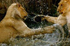 Lions playing in water. Two young lion cubs play in a waterhole Royalty Free Stock Photo