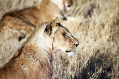 Lions portrait Royalty Free Stock Photo