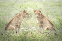 Lions posing relaxed Royalty Free Stock Photo