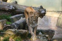 Lions prenant un bain de soleil dans le zoo Photos libres de droits