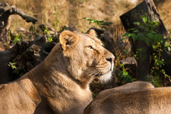 Lions prenant un bain de soleil dans le zoo Photo libre de droits