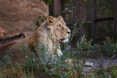 Lions prenant un bain de soleil dans le zoo Images stock