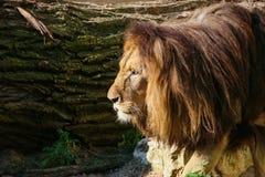 Lions prenant un bain de soleil dans le zoo Photo stock
