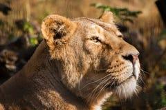 Lions prenant un bain de soleil dans le zoo Images libres de droits