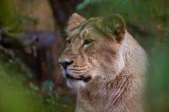 Lions prenant un bain de soleil dans le zoo Image stock