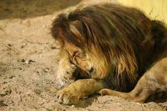 Lions prenant un bain de soleil dans le zoo Image libre de droits