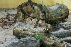 Lions prenant un bain de soleil dans le zoo Photos stock
