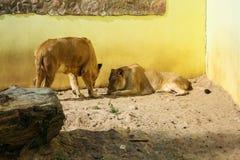 Lions prenant un bain de soleil dans le zoo Photographie stock libre de droits
