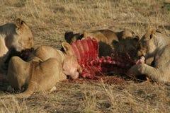 Lions with prey. Feeding time, Bloodshot faces, Savanna, Maasai National Reservee, Southwestern Kenya royalty free stock image