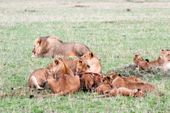Lions Pride Royalty Free Stock Photography