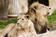 Lions pride. A couple of lions show their pride Royalty Free Stock Images