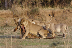 Lions. Pride of African lions feeding on a kill in the wild savannah Stock Photos