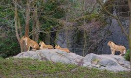 Lions Pride stock photos