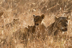 Lions pride in grass at sunset. African lionesses with cubs (Panthera Leo) resting in savannah  in Nakuru Lake National Park, Kenya, East Africa Royalty Free Stock Images