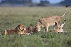 Lionґs Pride morning Royalty Free Stock Image