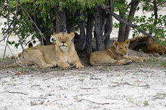 Lions pride, Namibia Stock Image