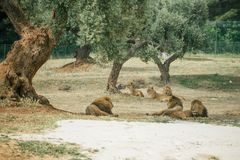 Lions in the in Fasano apulia Italy. Lions Pride in the nature lion, animal, predator, africa, cat african wild feline Royalty Free Stock Photos