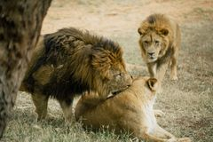 Lions in the in Fasano apulia Italy. Lions Pride in the nature lion, animal, predator, africa, cat african wild feline Stock Photography