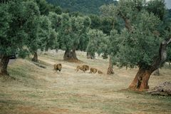 Lions in the in Fasano apulia Italy. Lions Pride in the nature lion, animal, predator, africa, cat african wild feline Stock Images