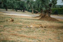 Lions in the in Fasano apulia Italy. Lions Pride in the nature lion, animal, predator, africa, cat african wild feline Stock Photos