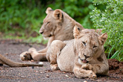 Lions pride in the rain Stock Image