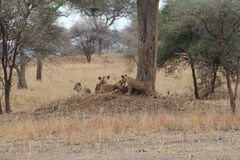 Lions relax in the savanna Royalty Free Stock Images