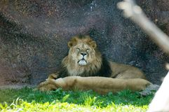 Lions relax. In the shadow of the rock Stock Photo