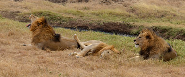 Lions in relax Stock Images