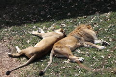 Lions relaxing. Lion and lioness sleeping or relaxing together back to back Royalty Free Stock Photo