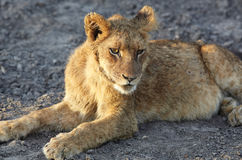 Lions at rest Royalty Free Stock Photography