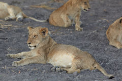 Lions at rest Royalty Free Stock Images