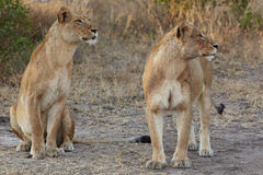 Lions at rest Royalty Free Stock Photo