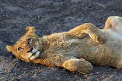 Lions at rest Stock Photography