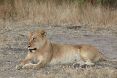 Lions at rest Stock Images