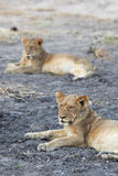 Lions at rest Royalty Free Stock Photos
