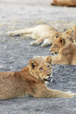 Lions at rest Stock Image