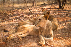 Lions resting. Wild lions resting, South Luangwa, Zambia Royalty Free Stock Photo