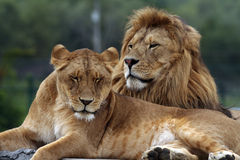 Lions. Resting at the African Lion Safari in Cambridge, Ontario Canada