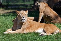 Lions resting in the afternoon Stock Photo