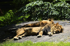 Lions resting Royalty Free Stock Photos