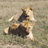 Lions resting Stock Photos