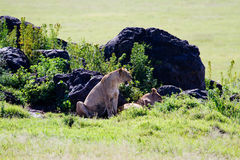 Lions resting. Near rocks in Africa Stock Photography