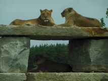 3 Lions Resting stock image
