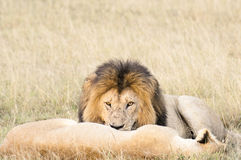 Lions resting after plentiful  feeding Royalty Free Stock Image