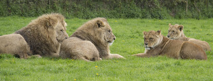 Lions resting in the rain Royalty Free Stock Images