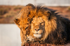 Lions resting in the sun Stock Image